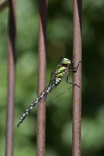 Libelle (Wilhelma)