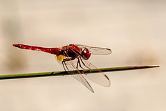 20150524 8173VRTw [F] Libelle, Marais du Vigueirat, [Mas-Thibert] Camargue