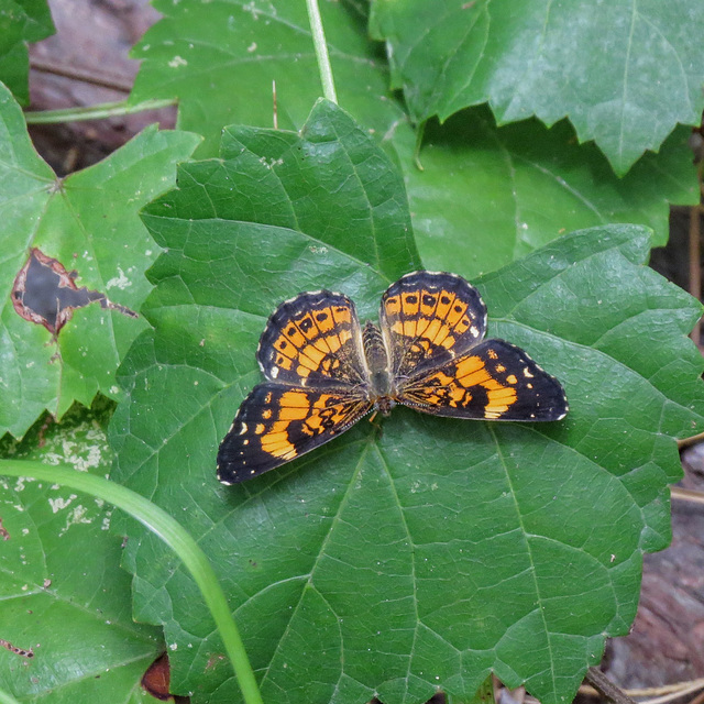Pearl crescent or silver checkerspot butterfly