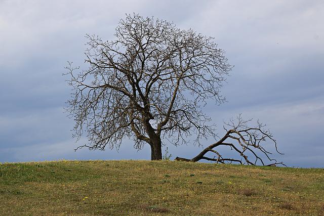 Der Walnußbaum auf dem Hügel