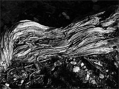 Arbrisseau (Sariette des montagnes) détail 1
