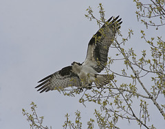 osprey / balbuzard