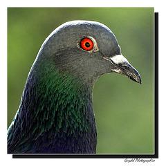 Le Pigeon ...