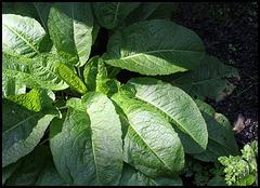 Rumex obtusifolius (3)