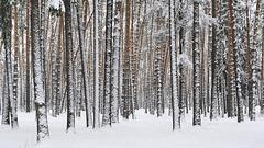 Forêt de pins, près du lac Kratovskoe, région de Moscou (Russie)