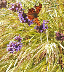 Comma Butterfly on Verbena.