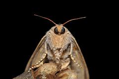 Phragmataecia parvipuncta (Hampson, [1893]), ♀