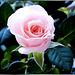 Winter Rose... ©UdoSm