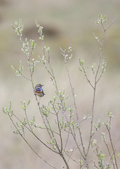 GBAS5455 Gorge bleue