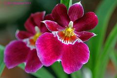 Miltoniopsis Orchid  061 copy