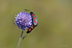 Couple of: Six-spot burnets ~ Sint-jansvlinders ~ Bloeddropjes (Zygaena filipendulae)...
