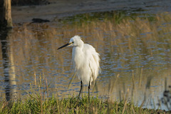 Egret sat by water