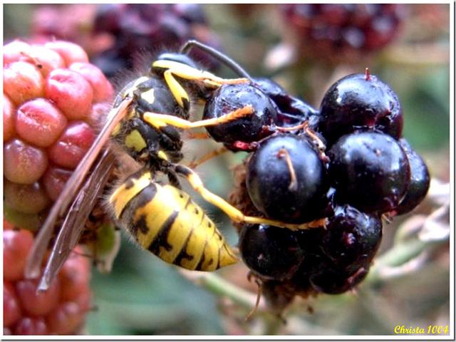 Greedy for blackberries!
