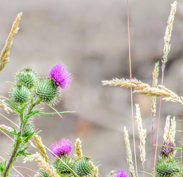 Thistle and Grasses.