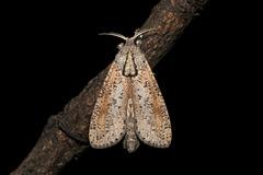 Phragmataecia parvipuncta (Hampson, [1893]), ♂
