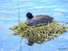 Coot On Its Nest.