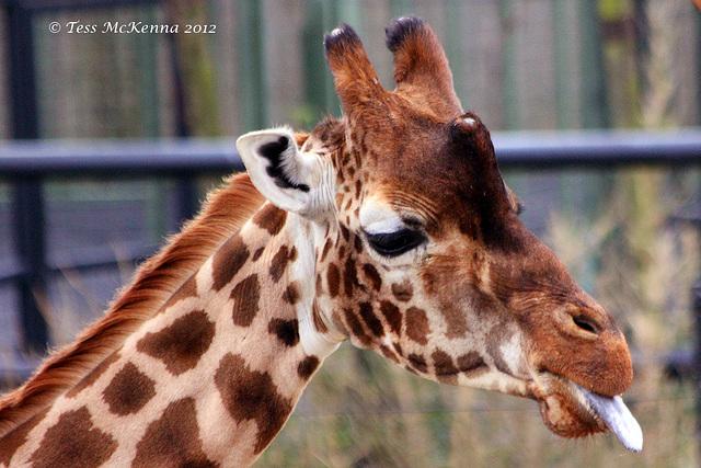 Giraffe  302 copy