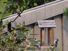 Odd Couple at the Feeder