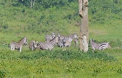 Zèbres dans le parc national Tarangire