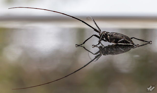 Gigantic Longhorn Beetle at LaPine State Park (+10 insets!)