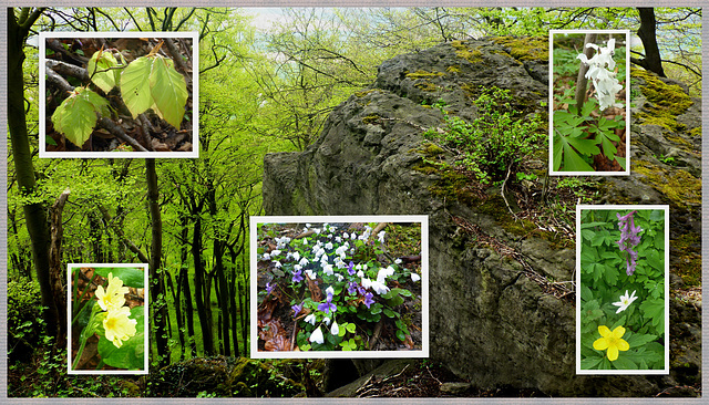 Buchen im felsduchsetzten Frühlingswald