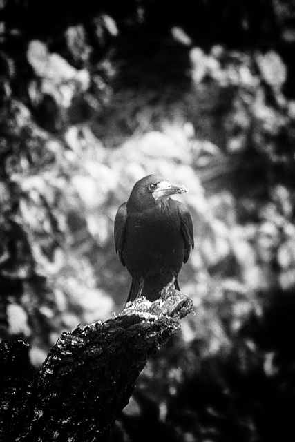The Raven of Rath