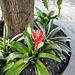 Bromelio floras