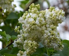 Lilas blanc...