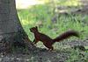 ecureuil faisant ses reserves de noisettes .....