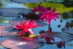 Lily Pond (PiP)