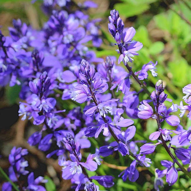 blauer Frühlingstraum