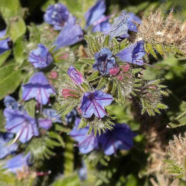 Unidentified flower, Seebe, Alberta - Echium vulgare