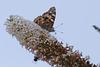 Distelfalter im Schmetterlingsstrauch