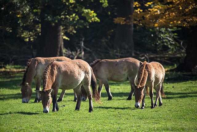 20151010 9109VRTw [D~H] Przewalski-Pferd, Wisentgehege, Springe-Deister