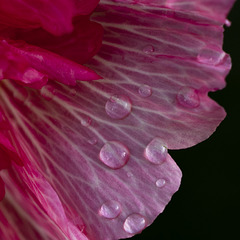 Hollyhocks Petals
