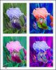 united colors of Iris