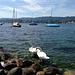 Swans - Lake Zurich