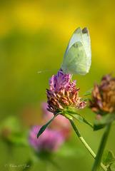 Small white ~ Klein koolwitje (Pieris rapae)...