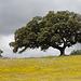 Azinheira, Quercus ilex