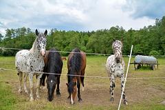 Horses in dots
