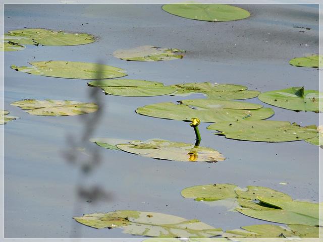 Les Nénuphars à l'étang