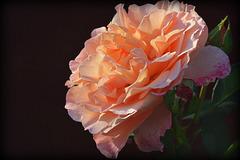 C'était le temps des roses ....