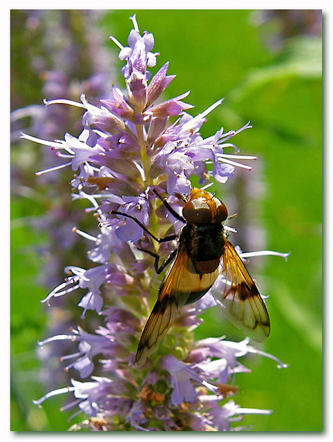 Volucella pellucens - Hoverfly