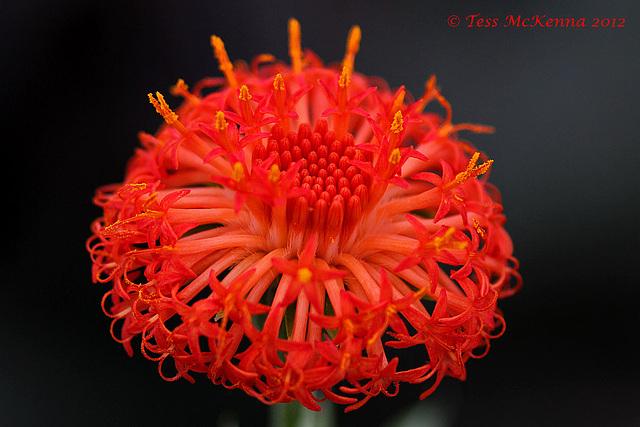 Kleinia abyssinica 134 copy 2 Explore