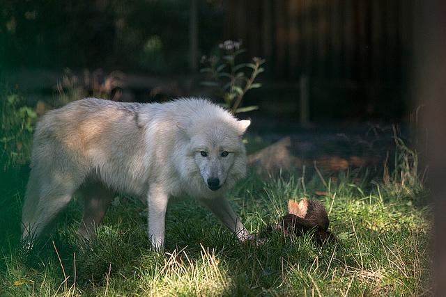 20151010 9256VRTw [D~H] Wolf (Canis lupus), Wisentgehege, Springe-Deister