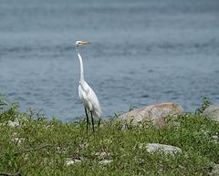 45/50 grande aigrette-great egret