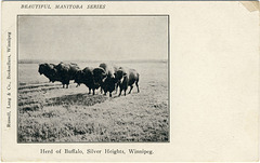 7613. Herd of Buffalo, Silver Heights, Winnipeg.