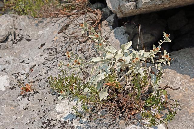 Nationalpark Paklenica - Pflanze unbekannt