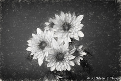 Dahlia in charcoal 052516-001
