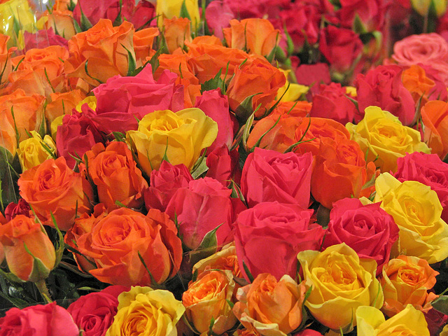 Roses of Many Colors